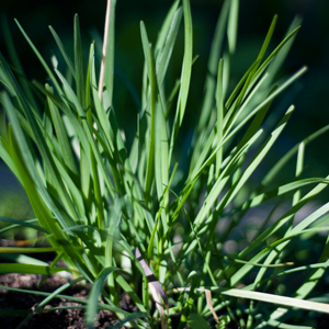 Even a pot of chives can add to a window sill or patio.