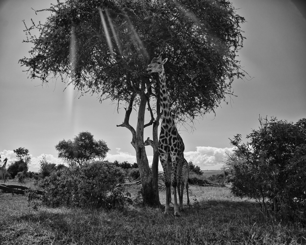 "I call this photo ""The Singing Giraffe"" A shot from Africa up near Chobe."