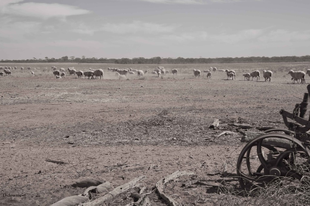 sheep on boodarockin road sml size