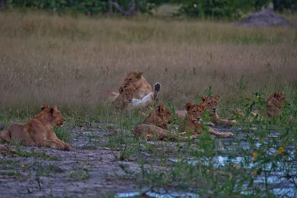 This Pride of Lions were relaxing in the sun after a huge lunch